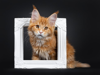 Handsome young Maine Coon cat sitting side ways through white picture frame. Looking beside camera with orange brown eyes. Isolated on a black background.