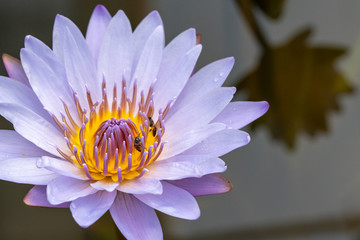 Selective Focus Close Up Shot Of Single White Lotus Flower Blossom