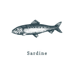 Illustration of sardine. Fish sketch in vector. Drawn seafood in engraving style. Used for can sticker, shop label etc.