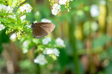 Macro selective focus of single brown butterfly landed and standing on white flowers in the garden against morning sunlight with blurred background. The meaning of freshness, soul and immortality.