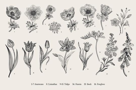 Spring flowers. Set. Anemones and Tulips. Vintage vector botanical illustration. Black and white