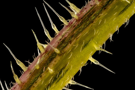 Stacked focus, extreme close up of of stinging nettle stem(Urtica dioica)