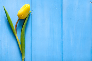 Spring yellow tulip on blue wooden background. Easter card.