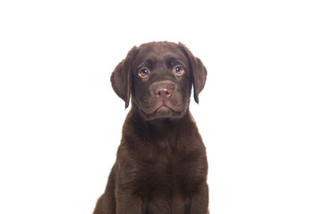 closeup isolated portrait puppy of a  chocolate labrador sitting with attentive look