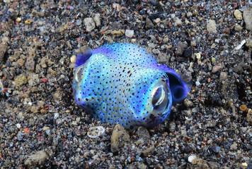 Amazing underwater world - Berry's bobtail squid - Euprymna berryi.  Diving and underwater photography. Tulamben, Bali, Indonesia.