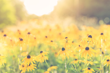Bright yellow sunset field with yellow flowers and blurred background. Artistic nature scene, flowers and meadow field