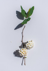 spring twig with flowers in bright sunlight with shadows on white background