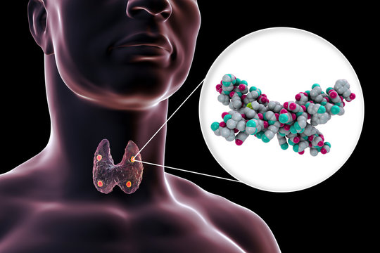 Human parathyroid hormone, molecular model, 3D illustration. Also called parathormone, parathyrin, is secreted by the parathyroid glands and takes part in bone remodeling