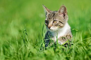 Tabby cat on green grass Fototapete
