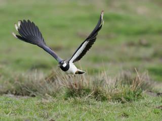 Fotoväggar - Northern lapwing, Vanellus vanellus