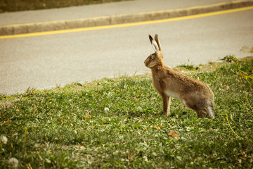 Rabbit anxious and alert to cross the street