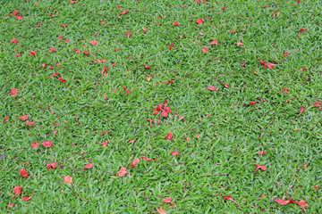 Thai red flowers fall on the green grass, Nature background.
