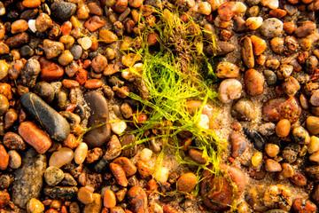 sea lettuce, alga, on a beach of the Baltic sea