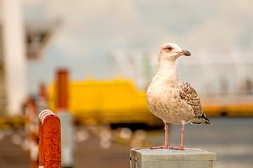Herring gull in a seaport in Poland