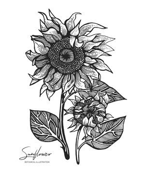 Engraved illustration of sunflower isolated on white background. Design elements for wedding invitations, greeting cards, wrapping paper, cosmetics packaging, labels, tags, quotes, blogs, posters.