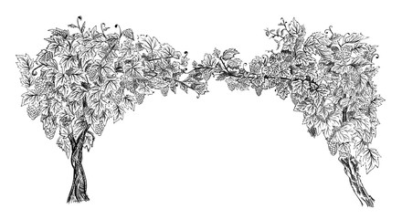 Arc from of grapevine hand drawn sketch vector illustration isolated on white