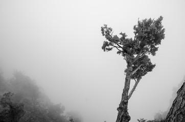 Old dry trees growing on Grand Canyon rocks. Heavy fog background. Arizona