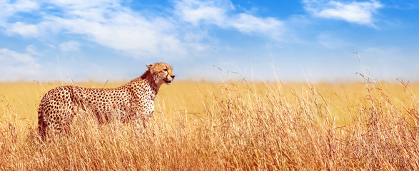 Cheetah in the African savannah. Africa, Tanzania, Serengeti National Park. Banner design. Wall mural
