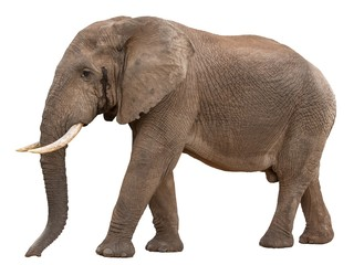 Big Male African Elephant in Musth - isolated