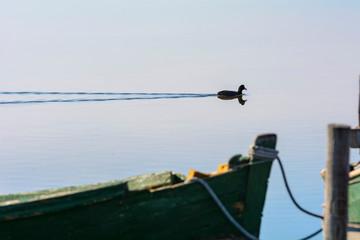 Moorhen in the calm lagoon at dawn.