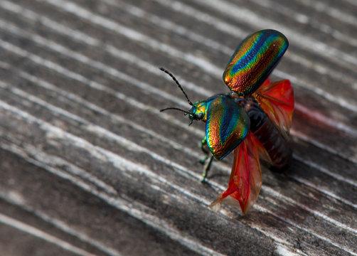Rare Snowdon beetle