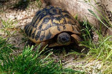 Photo sur Plexiglas Tortue tortue d'Hermann