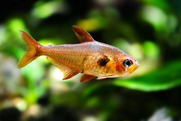 Aquarium fish. Rosy Tetra. Nature tank. Freshwater tank. A greenery beautiful planted freshwater aquarium with Tetra fishes. macro, soft focus.