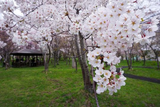 桜と木造の小屋