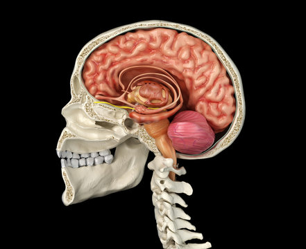 Human skull cross section with brain.
