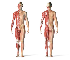 Man anatomy muscular and skeletal systems.