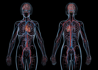 Woman cardiovascular system, rear and front views.