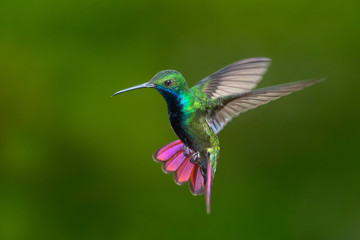 Black-throated Mango hummingbird hovering. Isolated on green background. Caribbean glittering jewel
