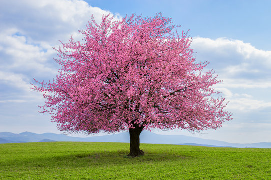 Flowering tree of Japanese sakura in spring. One tree on green meadow. Single or isolated cherry tree on the horizon. Landscape, scenery or countryside in spring time with green grass .