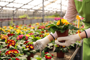 Young woman taking care of flowers in greenhouse, closeup. Home gardening Wall mural