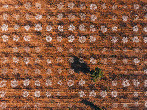 Aerial view of neat rows of almond trees with white flowers in contrast to the brown soil of the field.