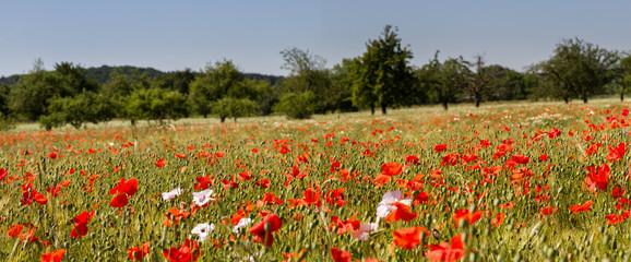 Mohnblumen im Getreidefeld 4 Fotoväggar