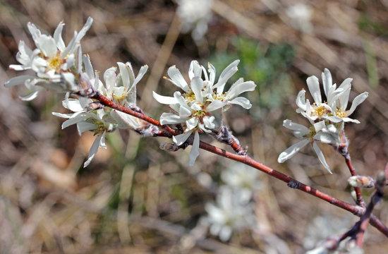 fiori di pero corvino (Amelanchier ovalis)