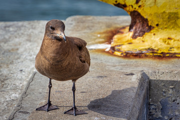Sooty Shearwater standing on a concrete pier.