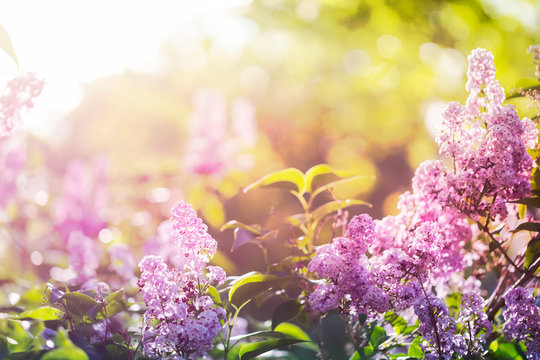 Purple lilac flowers in spring sunshine