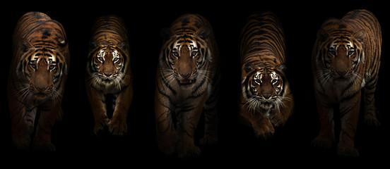 Photo sur Aluminium Tigre tiger (Panthera tigris) in dark background