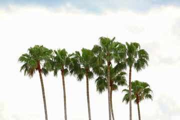 A line of tall Mexican fan palm also known as the Washingtonia robusta.