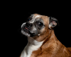 picture of a boxer dog on a black background