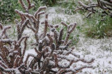Cholla Cactus in a Scottsdale Arizona Snow Storm