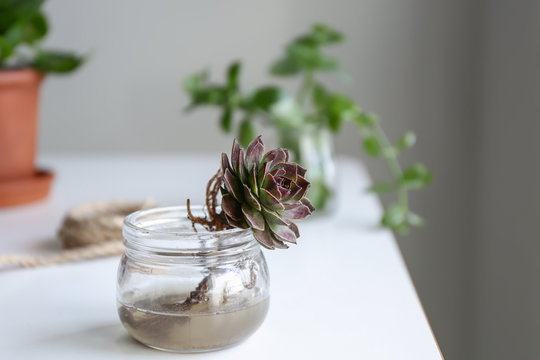 Succulent in jar with water on table