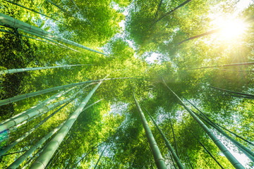 bamboo forest beautiful green natural background