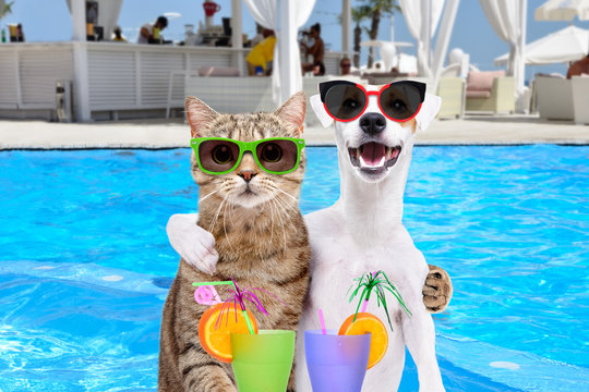 Dog Jack Russell Terrier and cat in sunglasses, hugging each other, holding cocktails in paws on the pool background
