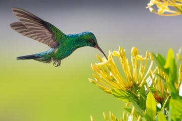Blue-chinned Sapphire hummingbird feeding on an Ixora hedge.