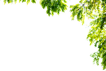 green leaves and branches isolate on white background for abstract texture environment nature