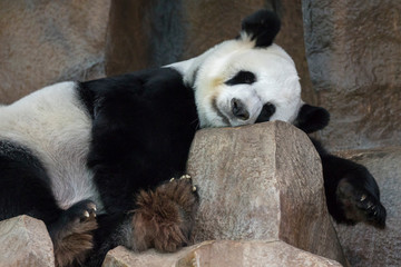 Image of a panda is sleeping on the rocks. Wild Animals.
