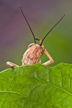 Grasshopper on a leaf, Indonesia